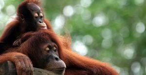 Orangutan zoo