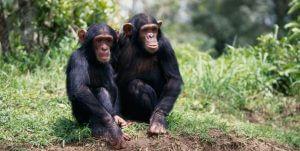 šimpanz zoo