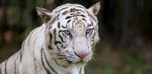 Bílý tygr zoo
