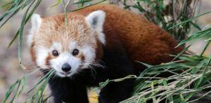 červená panda zoo