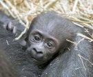 Gorilí mládě - Pražská zoo