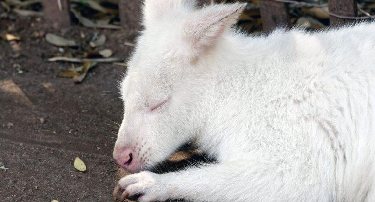 Bílý klokan zoo