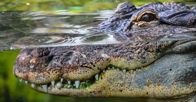 Krokodýl zoo