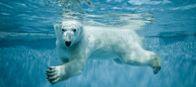 Lední medvěd zoo