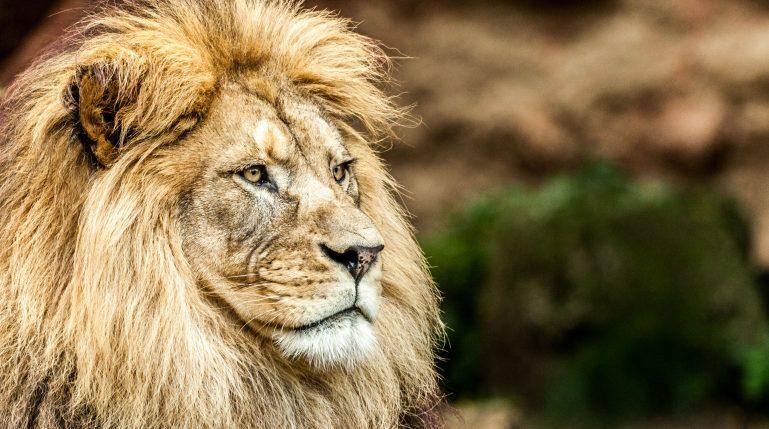 Lev zoo