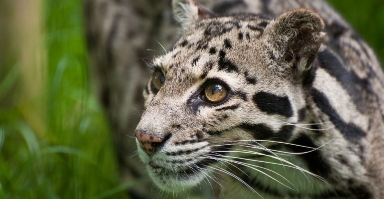 Levhart obláčkový zoo