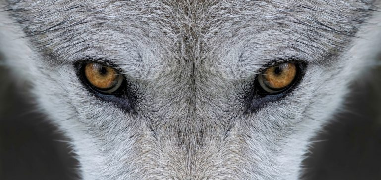 Vlk zoo