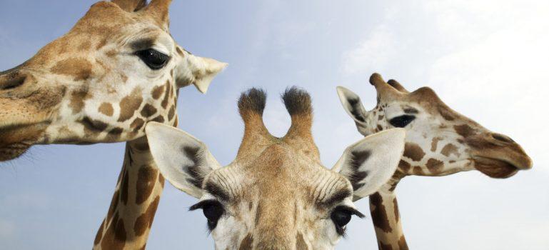 žirafy zoo