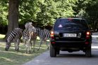Zebra Böhmova, safari, ZOO Dvůr Králové
