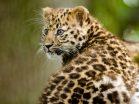 Levhart mandžutský zoo