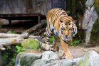 Tygr zoo